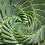 aloe Fibonacci in nature